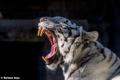 Картинка язык, морда, хищник, пасть, клыки, белый тигр, дикая кошка