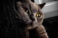 Картинка кошка, brown, cat