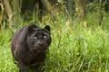 Картинка кошка, трава, взгляд, пантера, черный леопард