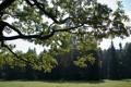 Картинка осень, листья, солнце, дуб