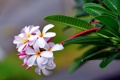 Картинка sharpness, exotic, plumeria, drop, freshness