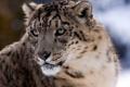 Картинка взгляд, хищник, ирбис, снежный барс