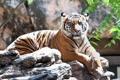 Картинка кошка, солнце, тигр, камень, суматранский