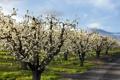 Картинка дорога, природа, яблони