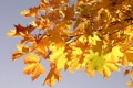 Картинка листья, макро, ветка, желтые, клен