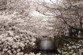 Картинка деревья, цветы, город, весна, Токио, цветение, водный канал