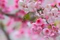 Картинка вишня, птица, ветка, весна, сакура, цветение, цветки