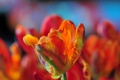 Картинка природа, цветок, лепестки, тюльпан