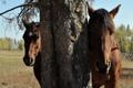 Картинка природа, дерево, лошадь, лошади, скрытность