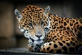 Картинка взгляд, хищник, лежит, ягуар