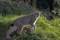 Картинка кошка, трава, взгляд, рысь