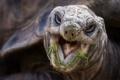 Картинка макро, природа, Aldabra Tortoise