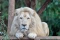 Картинка морда, отдых, хищник, лапы, грива, дикая кошка, зоопарк