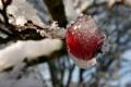 Картинка холод, лед, зима, иней, ветка, ягода, красная
