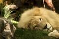 Картинка лев, грива, царь зверей