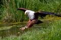 Картинка птица, охота, орлан-крикун