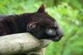 Картинка кошка, взгляд, морда, пантера, бревно, чёрный леопард