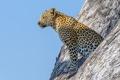 Картинка дерево, леопард, живая природа