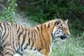 Картинка профиль, трава, амурский, тигр, взгляд, кошка