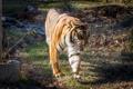 Картинка тигр, прогулка, солнце, кошка