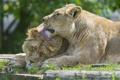 Картинка любовь, кошки, пара, львы, львица, ©Tambako The Jaguar