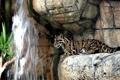 Картинка скалы, отдых, водопад, хищник, дымчатый леопард