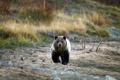 Картинка природа, фон, Grizzly Bear