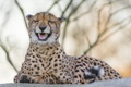 Картинка кошка, гепард, клыки, ©Tambako The Jaguar
