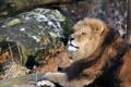 Картинка кошка, отдых, лев, профиль