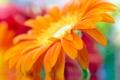 Картинка макро, желтый, yellow, красивый, beautiful, Close Up, daisy-gerbera