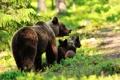 Картинка лес, деревья, медвежата, медведица