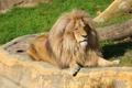 Картинка хищник, отдых, лев, грива