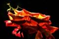 Картинка rose, insect, praying mantis