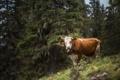Картинка природа, корова, фон