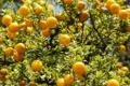 Картинка солнце, свет, листва, апельсины, плоды, цитрусы