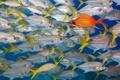 Картинка море, океан, цвет, рыба, косяк, longjaw squirrelfish, belize