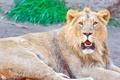 Картинка усы, взгляд, морда, отдых, Лев, lion, panthera leo