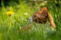 Картинка боке, трава, кошка, одуванчик, усы