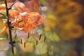 Картинка лето, цветы, природа, Orange Tiger Lily
