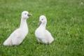Картинка трава, маленькие, grass, лебеди, small, swans