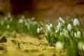 Картинка цветы, подснежники, боке
