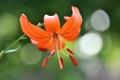 Картинка макро, природа, лилия, лепестки