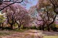 Картинка улица, красота, деревья в цвету
