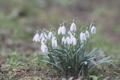 Картинка подснежники, белые, цветы, весна