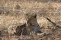 Картинка ветки, хищник, леопард, дикая кошка