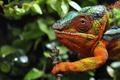 Картинка макро, хамелеон, разноцветный, сучок