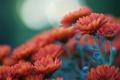 Картинка цветы, оранжевая, фокус, размытость, хризантемы