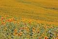 Картинка поле, подсолнух, цветы
