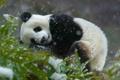 Картинка листья, снег, китай, бамбук, медведь, панда