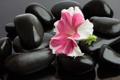 Картинка цветок, flower, Spa stones, спа камешки